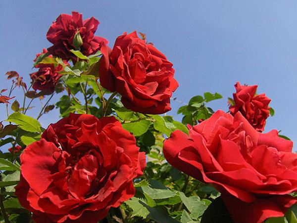 Mơ thấy hoa hồng